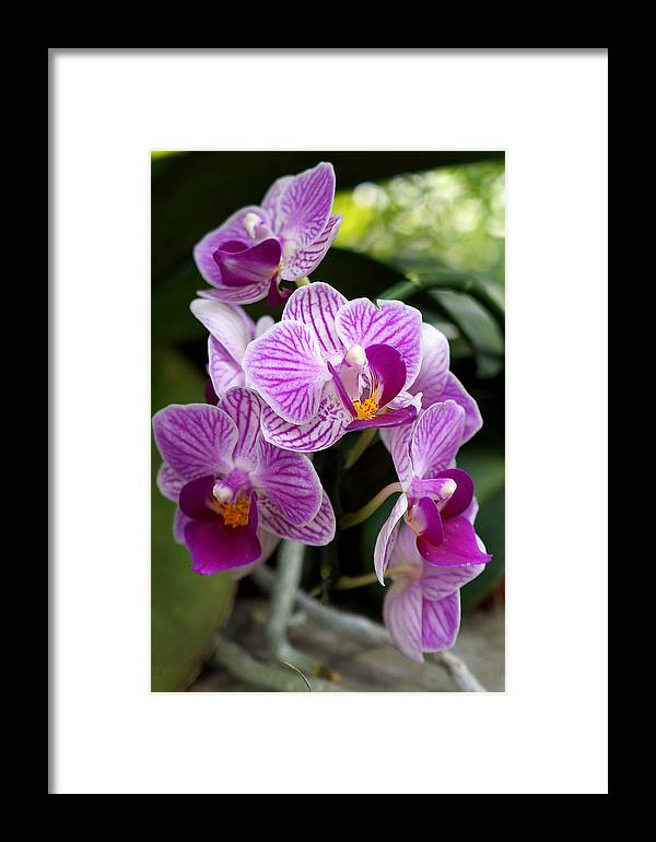 Ann Keisling Framed Print featuring the photograph Pretty Purple And White by Ann Keisling