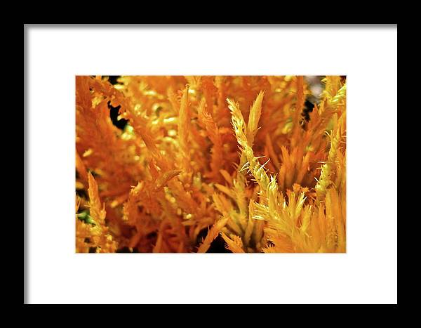 Plant Framed Print featuring the photograph Prickly Orange Shrub by Michele Stoehr