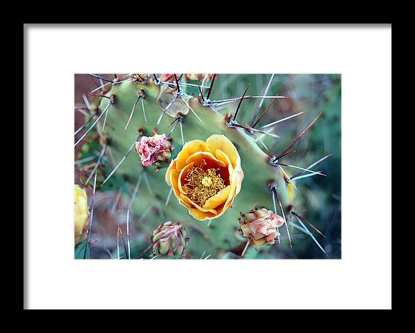 Prickly Pear Framed Print featuring the photograph Prickly Pear Bloom by Heather S Huston