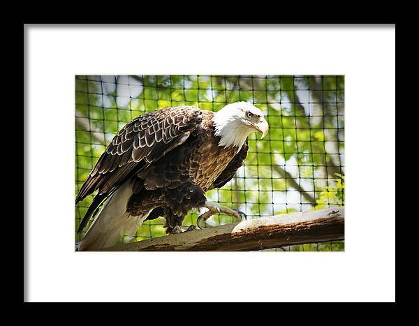 Bald Framed Print featuring the photograph Pride by Joann Mitchell