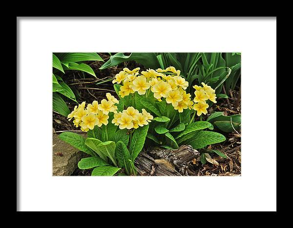 Primrose Framed Print featuring the photograph Primrose by Michael Peychich