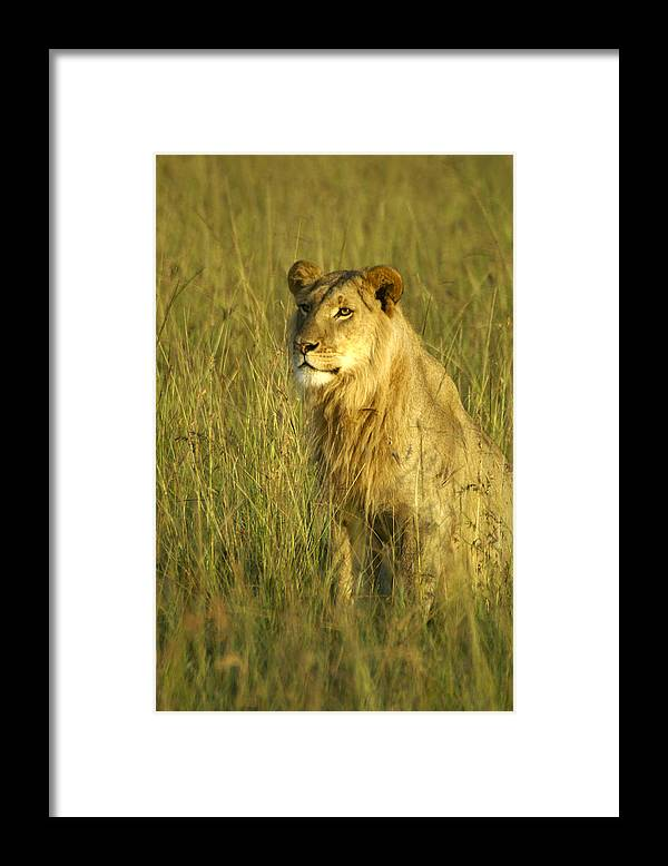 Africa Framed Print featuring the photograph Princely Lion by Michele Burgess