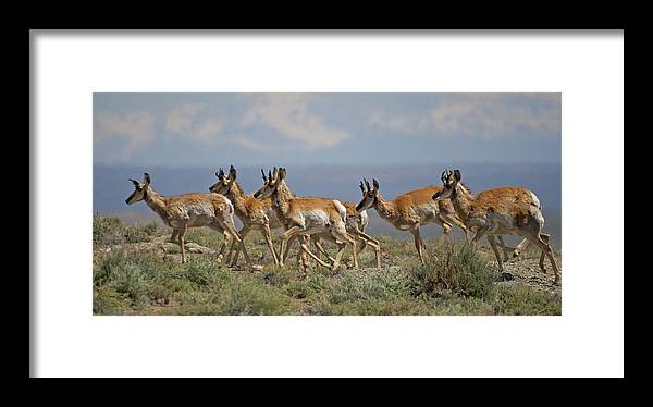 Pronghorn Framed Print featuring the photograph Pronghorn Antelope Running by Heather Coen