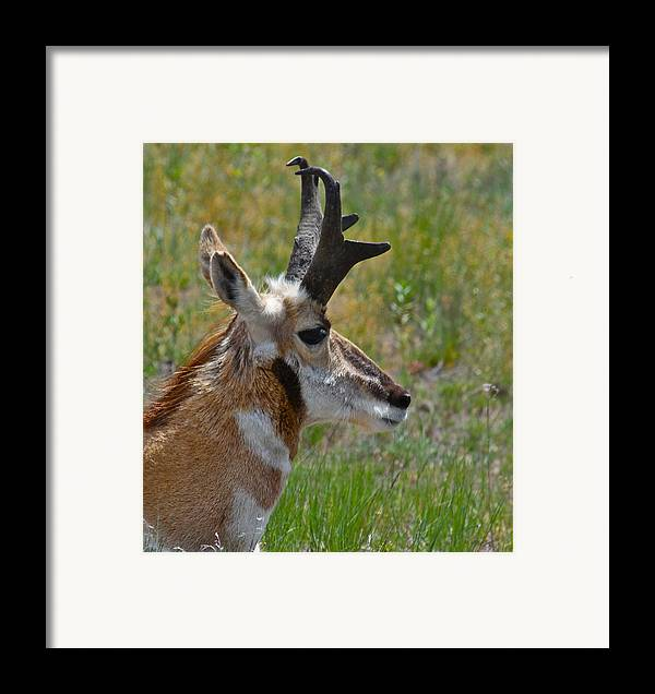 Pronghorn Framed Print featuring the photograph Pronghorn Buck Profile by Karon Melillo DeVega
