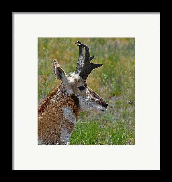 Pronghorn Framed Print featuring the photograph Pronghorn Buck Profile by Karon Melillo DeVega