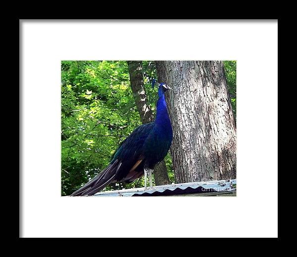 Peacock Framed Print featuring the photograph Proud Peacock by Emily Kelley