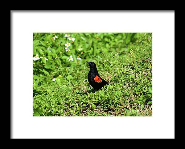 Proud Red-wing Framed Print featuring the photograph Proud Red-wing by William Tasker