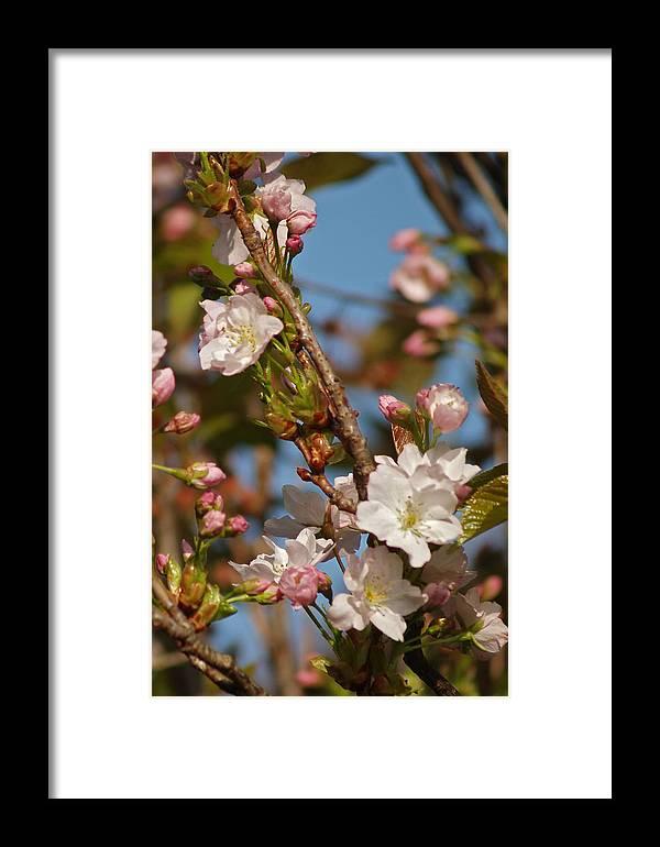 Tree Framed Print featuring the photograph Prunus Amanogawa by Steve Watson
