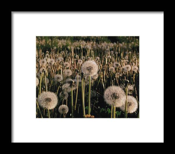Flowers Framed Print featuring the photograph Puff Balls Before The Wind by Yolanda Lange
