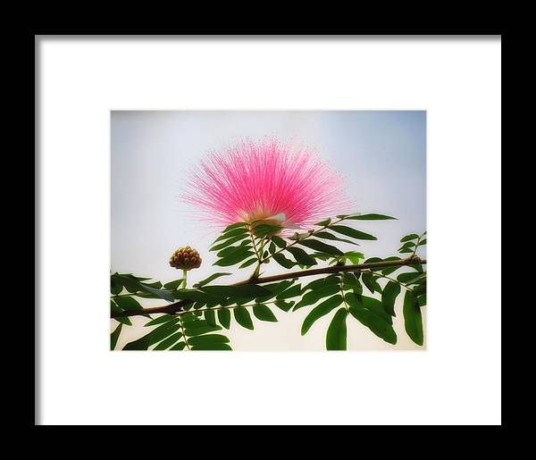 Puff Of Pink Mimosa Flower Framed Print By Mtbobbins Photography