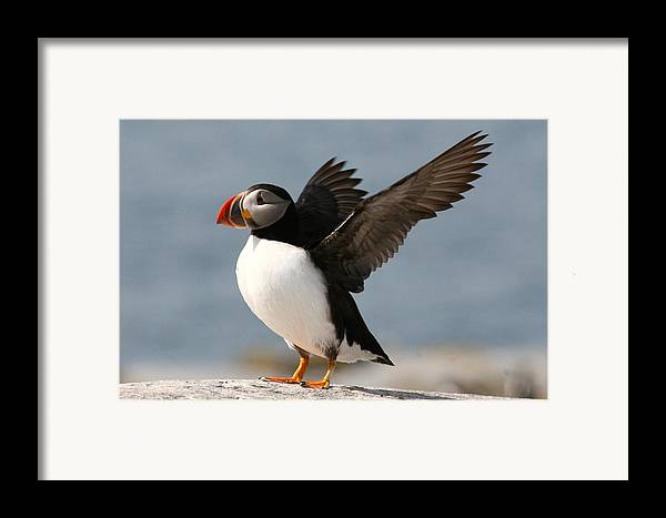 Bird Framed Print featuring the photograph Puffin Impersonating An Eagle by Stanley Klein