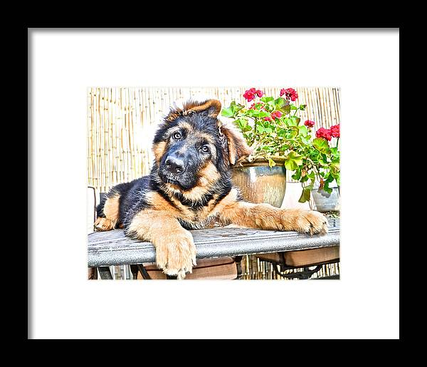 German Shepherd Dog Framed Print featuring the photograph Puppy  by Danielle Sigmon