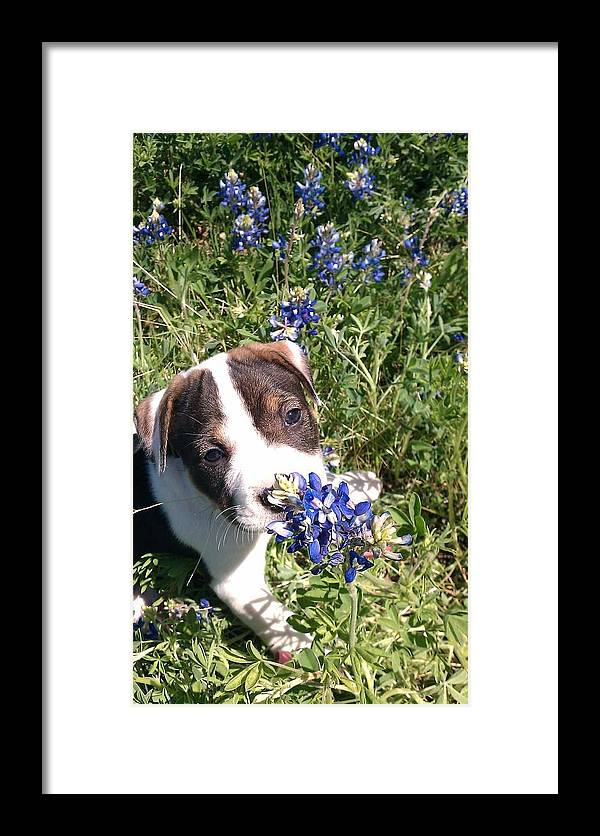 Puppy Framed Print featuring the photograph Puppy In The Blubonnets by Marie Millard