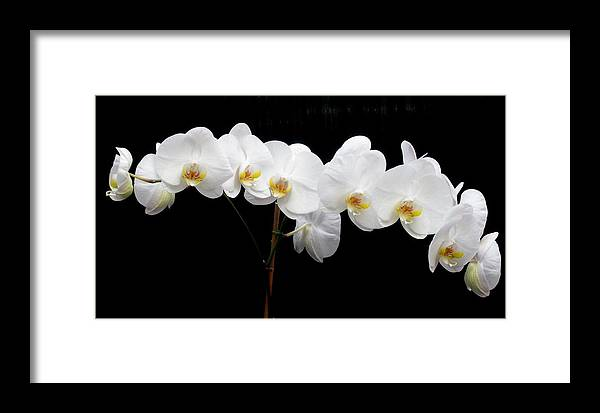 Orchid Framed Print featuring the photograph Pure Orchid by Jeanette Oberholtzer