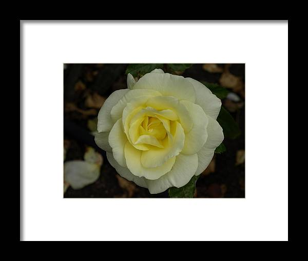 Rose Framed Print featuring the photograph Purity by Laura Allenby