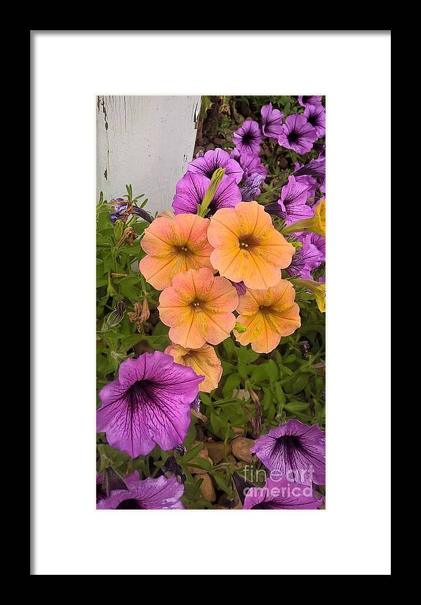 Purple Framed Print featuring the photograph Purple And Peach by Jena Suits
