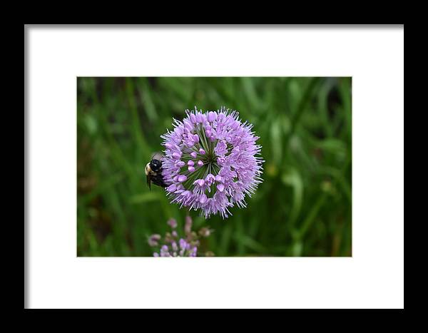 Purple Framed Print featuring the photograph Purple And The Bee by Nina Kindred