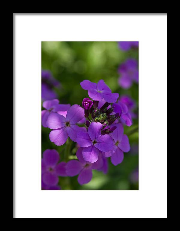Yard Framed Print featuring the photograph Purple Beauty by Mark Salamon