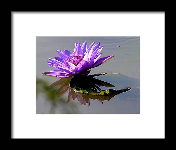 Water Lily Framed Print featuring the photograph Purple Beauty On The Pond by John Lautermilch