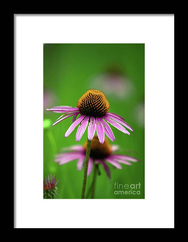 Alternative Framed Print featuring the photograph Purple Cone Flower by Alan Look