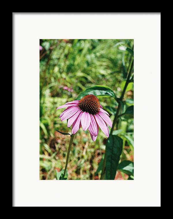 Flower Framed Print featuring the photograph Purple Coneflower by Cheryl Martin
