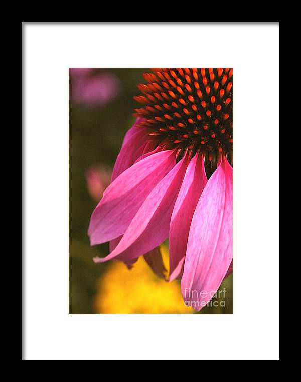 Coneflower Framed Print featuring the photograph Purple Coneflower Close-up by Steve Augustin