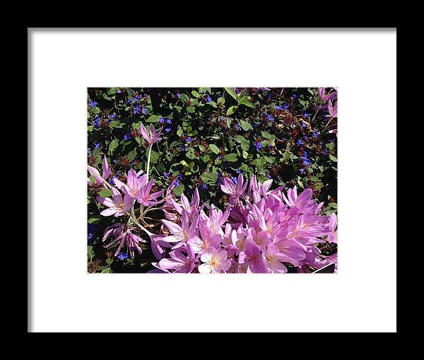 Crocus Framed Print featuring the photograph Purple Crocus by Margaret Howieson