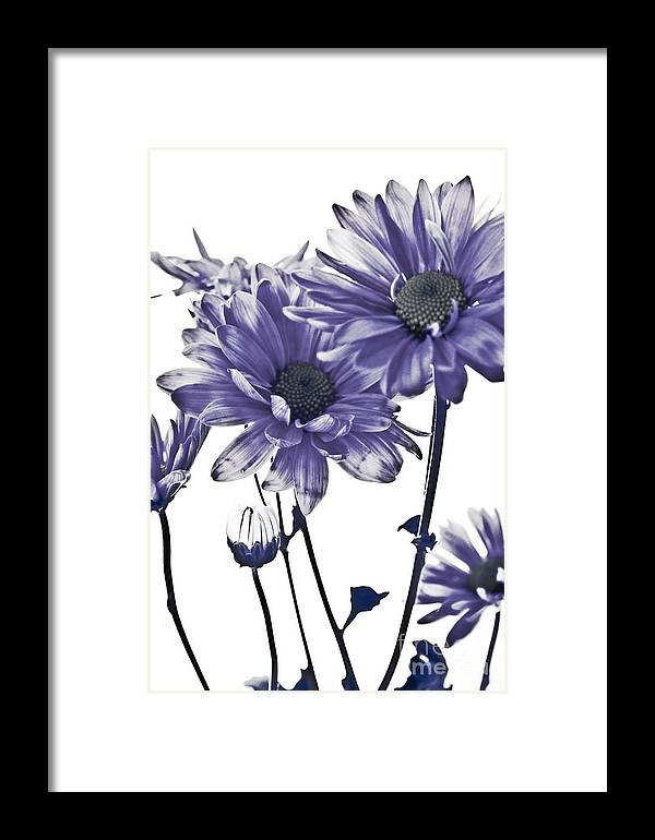 Flowers Framed Print featuring the photograph Purple Daisies by Robin Lynne Schwind