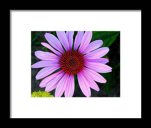 Floral Framed Print featuring the photograph Purple Daisy by Kathy Roncarati