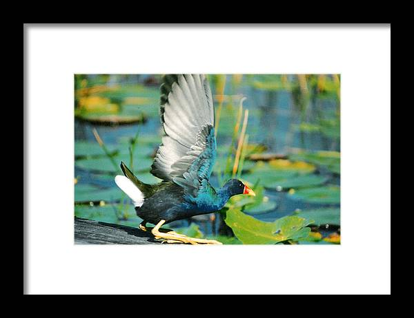 Birds Framed Print featuring the photograph Purple Gallinule by Cindy Gregg