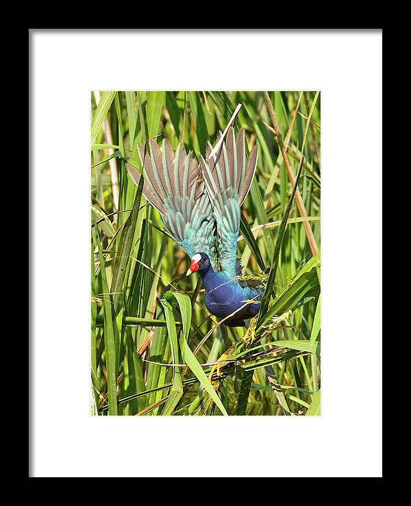 Bird Framed Print featuring the photograph Purple Gallinule In Flight by Lindy Pollard