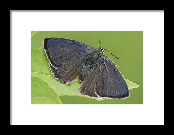Purple Hairstreak Framed Print featuring the photograph Purple Hairstreak by Colin Knight