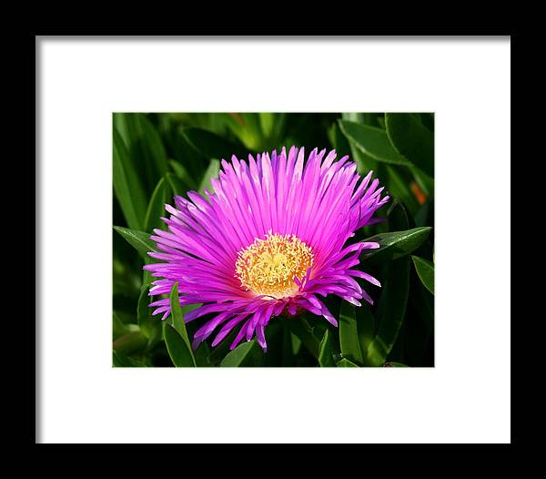 Flower Framed Print featuring the photograph Purple Ice Plant by Kerry Reed