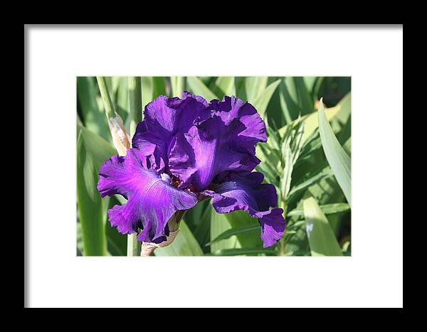 Purple Framed Print featuring the photograph Purple Iris by Mary Gaines