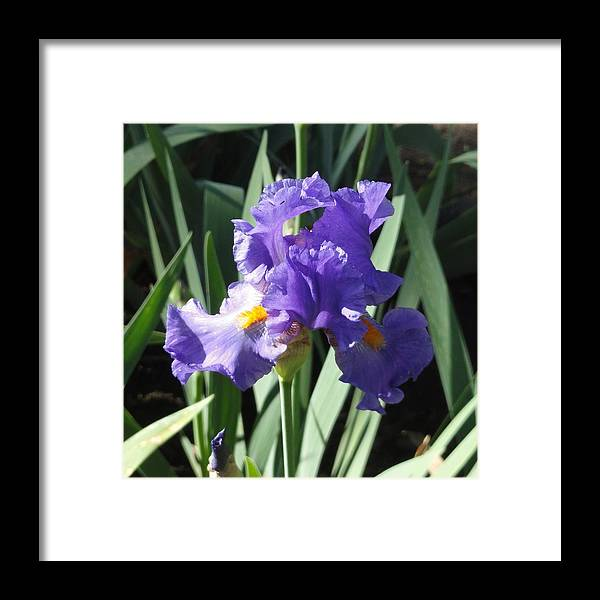 Purple Framed Print featuring the photograph Purple Iris by Shannon Grissom