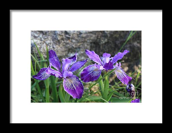Purple Framed Print featuring the photograph Purple Irises With Gray Rock by Carol Groenen