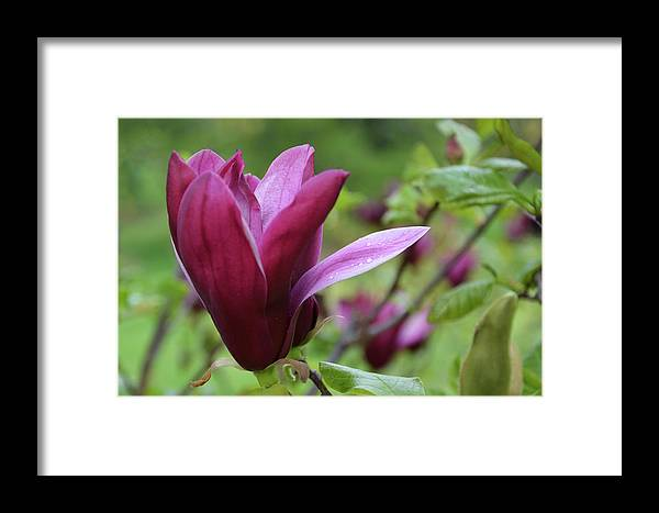 Isabela Cocoli Framed Print featuring the photograph Purple Magnolia Closeup by Isabela and Skender Cocoli