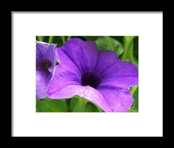 Floral Framed Print featuring the photograph Purple Petunia by Ellen B Pate