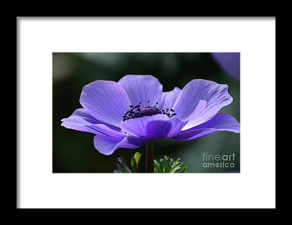 Flowers Framed Print featuring the photograph Purple Poppy Mona Lisa by Cindy Manero