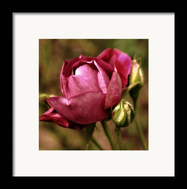 Flowers Framed Print featuring the photograph Purple Rose by Cathie Tyler