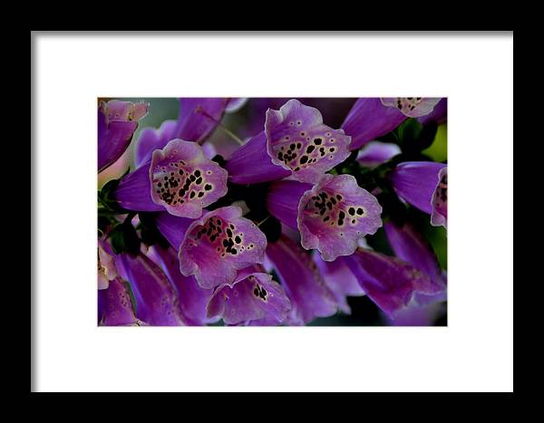 Purple Framed Print featuring the photograph Purple Silk by Lyle Huisken