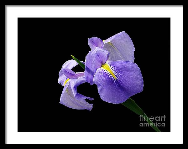 Iris Framed Print featuring the photograph Purple Simplicity by Kathy Daxon