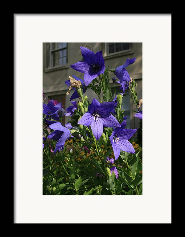 Flowers Framed Print featuring the photograph Purple Stars by Alan Rutherford