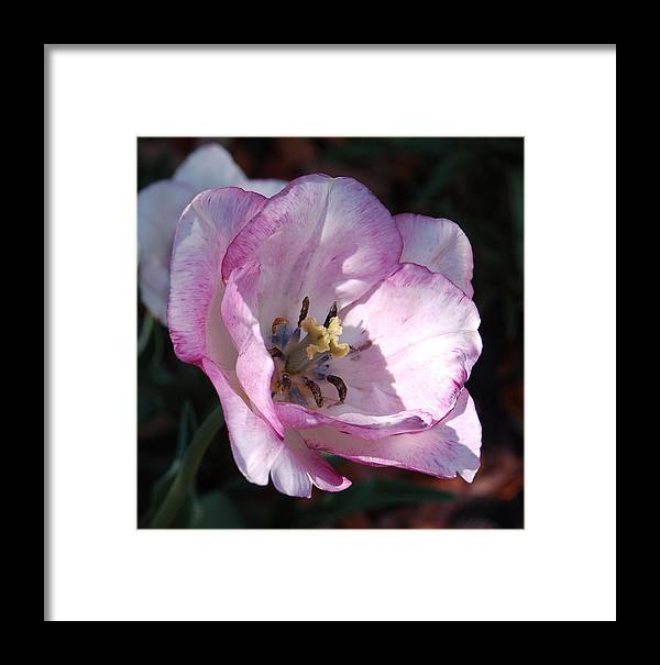 Purple Framed Print featuring the photograph Purple Tulip by Suzanne Gaff