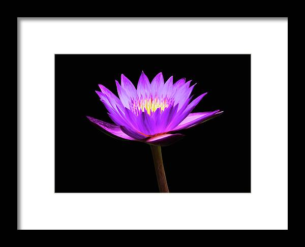 Purple Water Lily Flower Framed Print featuring the photograph Purple Water Lily Flower by Steven Michael