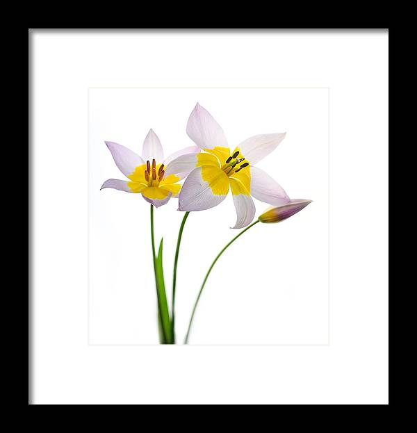 Copyright 2016 Rebecca Cozart Framed Print featuring the photograph Purple Yellow Tulips 1 by Rebecca Cozart