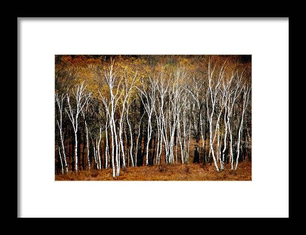Birch Trees Framed Print featuring the photograph Quabbin Birches by Richard Danek