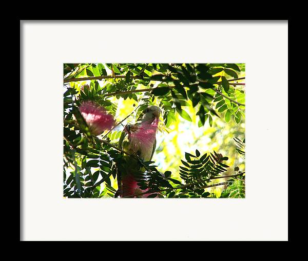 Quaker Parrot Framed Print featuring the photograph Quaker Parrot With Mimosa Flower by Theresa Willingham