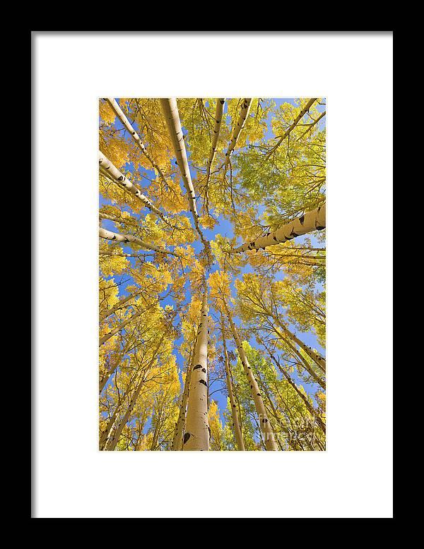 00559133 Framed Print featuring the photograph Quaking Aspens Overhead by Yva Momatiuk John Eastcott