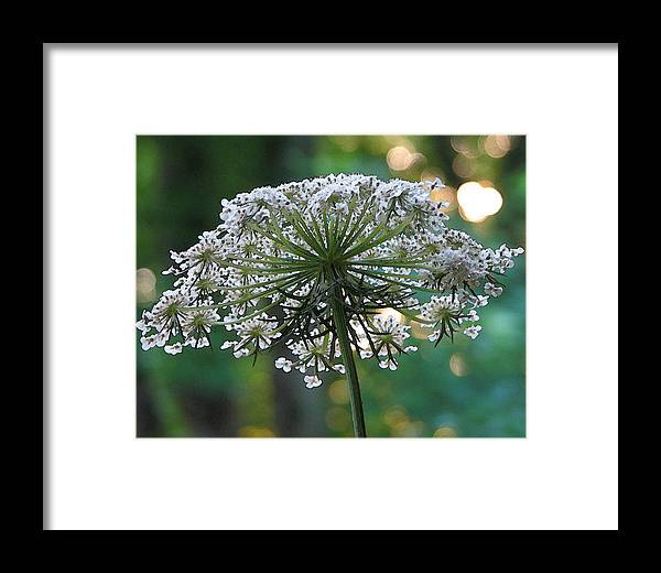 Queen Anne's Lace Framed Print featuring the photograph Queen Anne In Her Glory by Ginger Howland